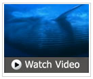 Watch a video of the great blue whale