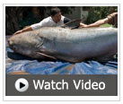 Watch a video about the giant Mekong catfish, with Zeb Hogan