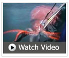 video of colossal squid