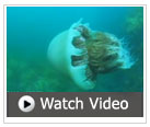 giant jellyfish video