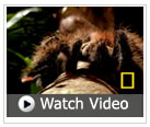 Watch a goliath tarantula hunt a mouse