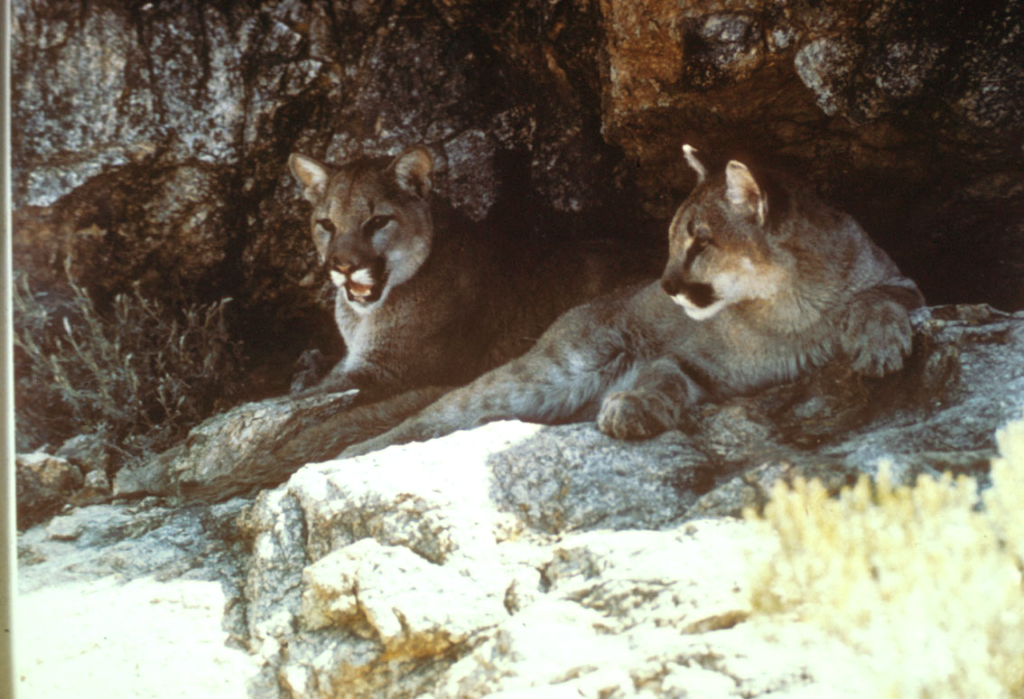 Photo of Mountain lion pair
