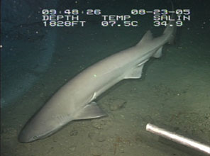 six gill deep sea shark