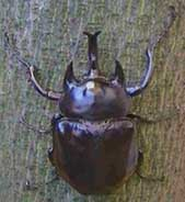 Acteon (rhinoceros) beetle