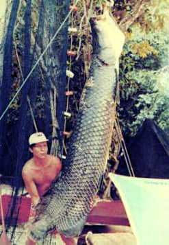 A captured Arapaima: one of the largest freshwater fish species in the world
