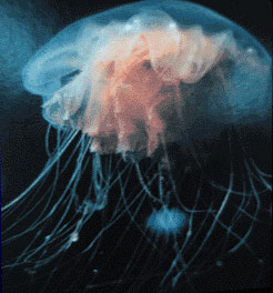 photo of arctic lion's mane jellyfish