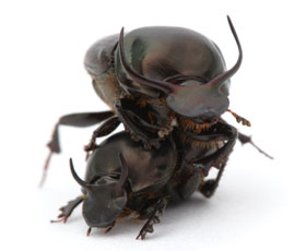 picture of world's strongest beetle