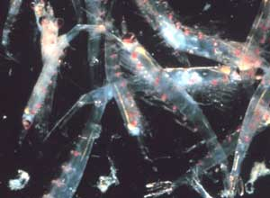 Photo of shrimp krill