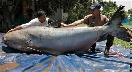 largest fresh water fish in the world