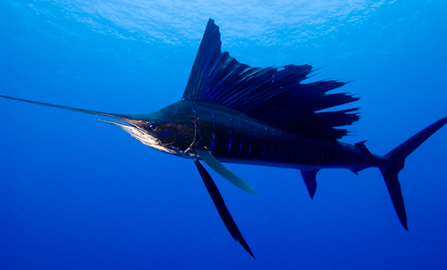 Photo of sailfish - courtesy of Robin J. Hughes