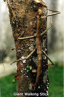 Giant Walking Stick picture